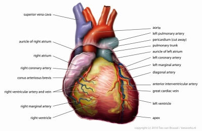 Anatomy_Heart_English_Tiesworks