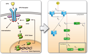 Formalization-of-Jak-Stat-Pathway